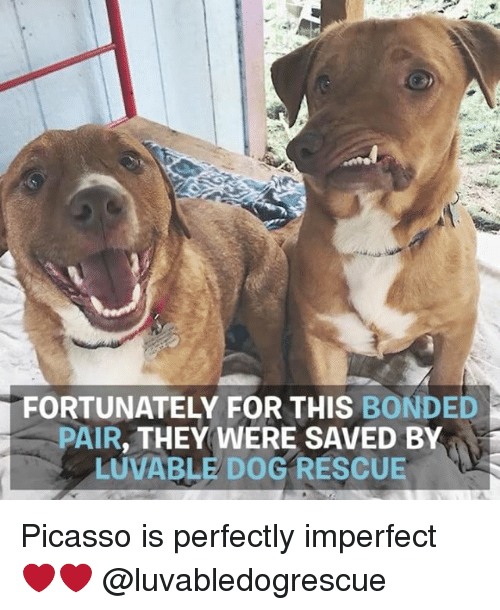 imperfection: FORTUNATELY FOR THIS BONDED  PAIR  THEY WERE SAVED BY Picasso is perfectly imperfect ❤️❤️ @luvabledogrescue