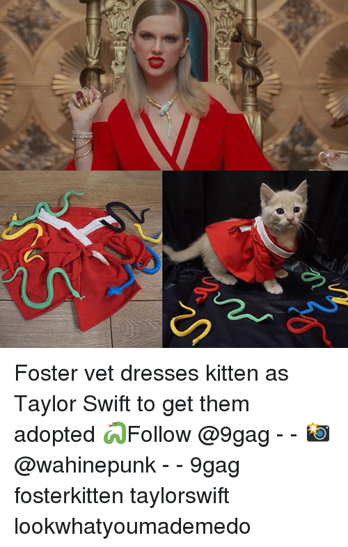 9gag, Memes, and Taylor Swift: Foster vet dresses kitten as Taylor Swift to get them adopted 🐍Follow @9gag - - 📸@wahinepunk - - 9gag fosterkitten taylorswift lookwhatyoumademedo