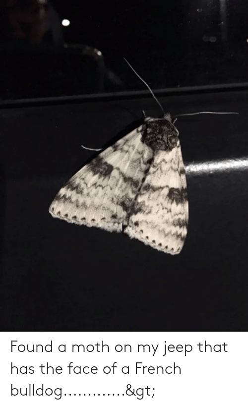 french bulldog: Found a moth on my jeep that has the face of a French bulldog.............>