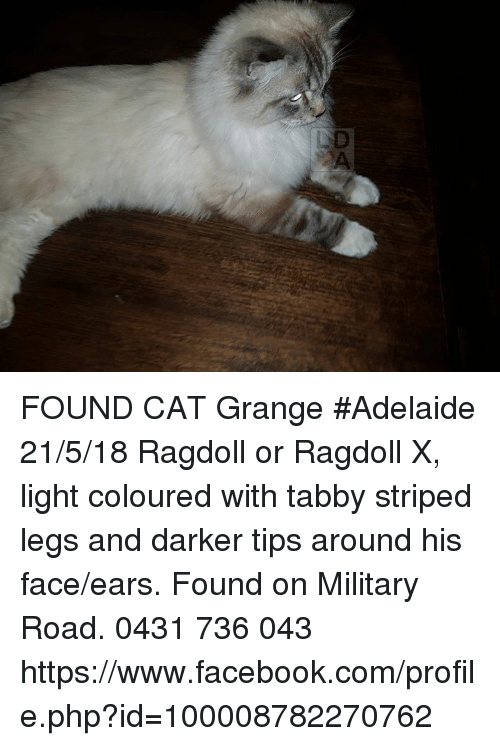 Facebook, Memes, and facebook.com: FOUND CAT Grange #Adelaide 21/5/18 Ragdoll or Ragdoll X, light coloured with tabby striped legs and darker tips around his face/ears. Found on Military Road.  0431 736 043 https://www.facebook.com/profile.php?id=100008782270762