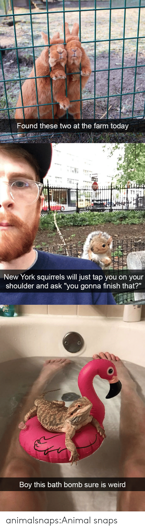 """Bath bomb: Found these two at the farm today   New York squirrels will just tap you on your  shoulder and ask """"you gonna finish that?""""   Boy this bath bomb sure is weird animalsnaps:Animal snaps"""