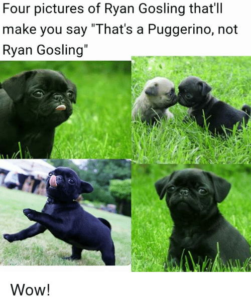 """Dank, Wow, and Ryan Gosling: Four pictures of Ryan Gosling that'll  make you say """"That's a Puggerino, not  Ryan Gosling"""" Wow!"""