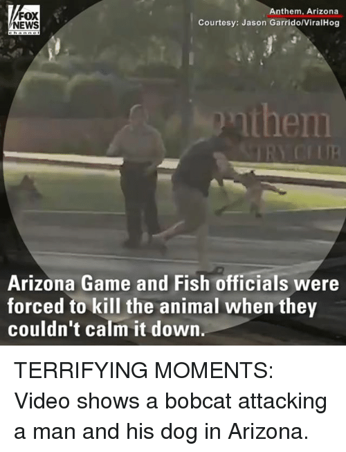 Bobcat: FOX  NEWS  Anthem, Arizona  Courtesy: Jason Garrido/ViralHog  then  Arizona Game and Fish officials were  forced to kill the animal when they  couldn't calm it down TERRIFYING MOMENTS: Video shows a bobcat attacking a man and his dog in Arizona.