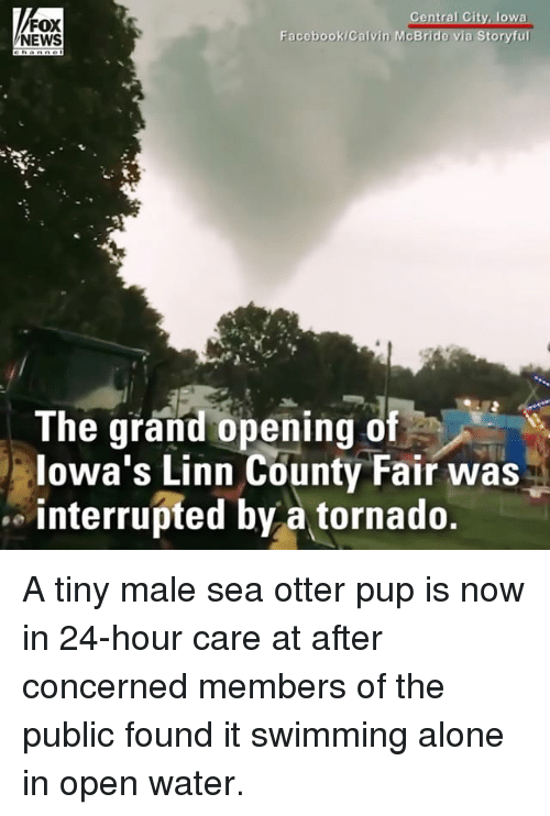 sea otter: FOX  NEWS  Facebook/Calvin McB  The grand opening of  lowa's Linn County Fair was  interrupted by a tornado. A tiny male sea otter pup is now in 24-hour care at after concerned members of the public found it swimming alone in open water.