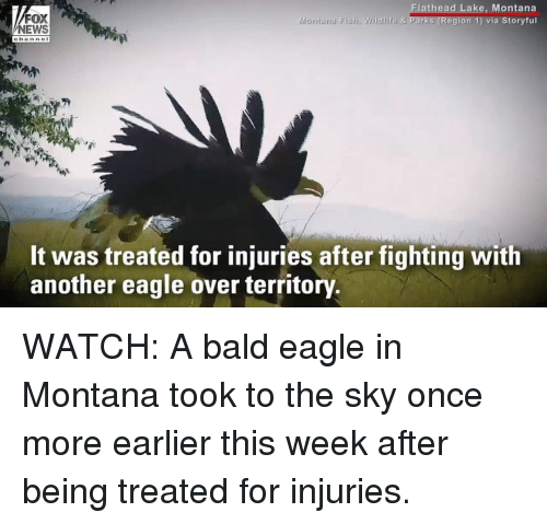 Head, Memes, and News: FOX  NEWS  head Lake, Montana  ia Storyful  Montana Fish, Wildlife & Parks (Region 1) v  Wildlife 8  Chann@重  It was treated for injuries after fighting with  another eagle over territory. WATCH: A bald eagle in Montana took to the sky once more earlier this week after being treated for injuries.