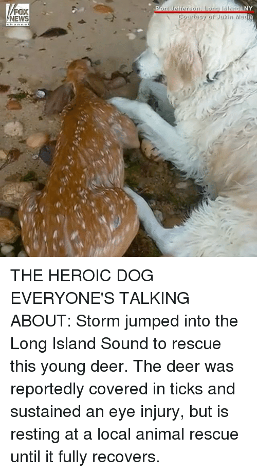 Deer, Memes, and News: FOX  NEWS  Port Jefferson. Lona sland NY  ia  Courtesy of Jukin Mes THE HEROIC DOG EVERYONE'S TALKING ABOUT: Storm jumped into the Long Island Sound to rescue this young deer. The deer was reportedly covered in ticks and sustained an eye injury, but is resting at a local animal rescue until it fully recovers.