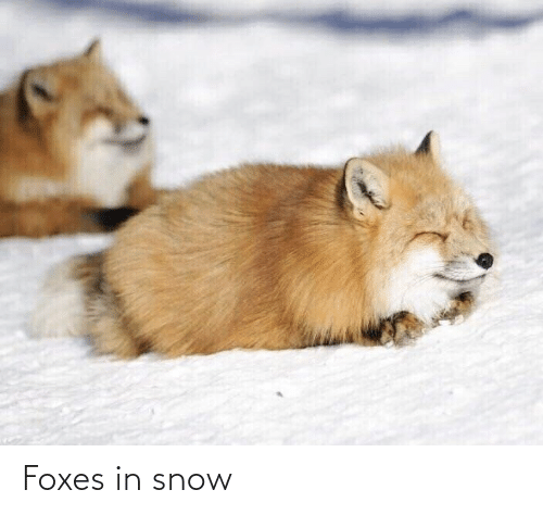 foxes: Foxes in snow