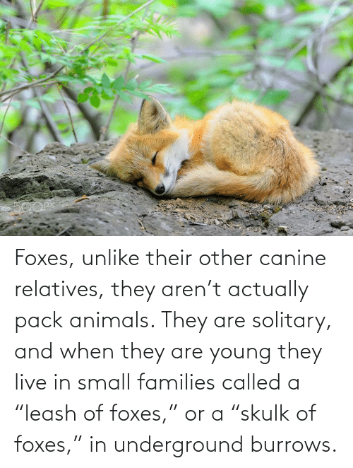 """foxes: Foxes, unlike their other canine relatives, they aren't actually pack animals. They are solitary, and when they are young they live in small families called a """"leash of foxes,"""" or a """"skulk of foxes,"""" in underground burrows."""
