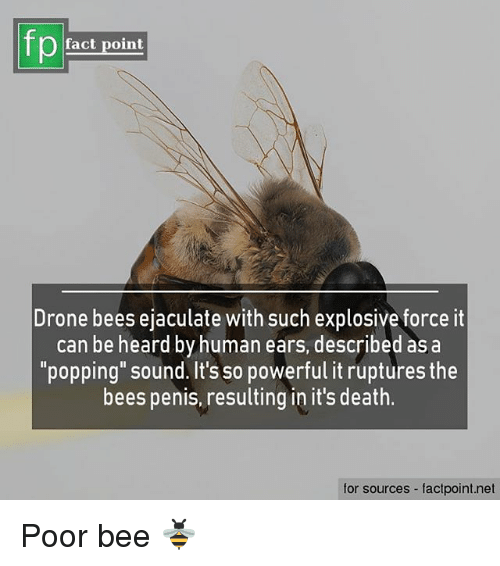 """Memes, Death, and Penis: fp  fact point  Urone bees ejaculate with such explosive force it  can be heard by human ears, described as a  """"popping"""" sound. It's so powerful it ruptures the  bees penis, resulting in it's death.  for sources - factpoint.net Poor bee 🐝"""