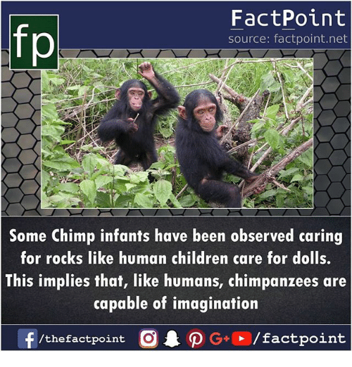 Children, Memes, and Been: fp  FactPoint  source: factpoint.net  Some Chimp infants have been observed caring  for rocks like human children care for dolls.  This implies that, like humans, chimpanzees are  capable of imagination  /thefactpoint C