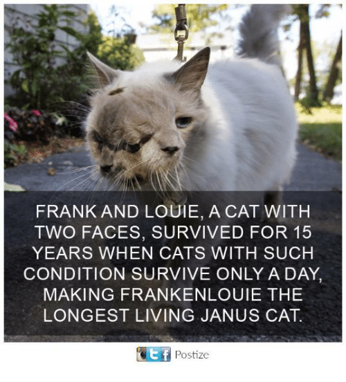 two faces: FRANK AND LOUIE, A CAT WITH  TWO FACES, SURVIVED FOR 15  YEARS WHEN CATS WITH SUCH  CONDITION SURVIVE ONLY A DAY,  MAKING FRANKENLOUIE THE  LONGEST LIVING JANUS CAT.  Ef Postize