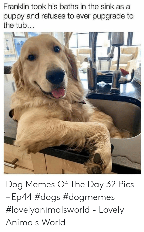 Franklin: Franklin took his baths in the sink as a  puppy and refuses to ever pupgrade to  the tub... Dog Memes Of The Day 32 Pics – Ep44 #dogs #dogmemes #lovelyanimalsworld - Lovely Animals World