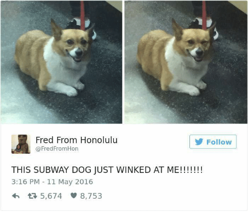 winking: Fred From Honolulu  Follow  @Fred FromHon  THIS SUBWAY DOG JUST WINKED AT ME!!!!!!!  3:16 PM 11 May 2016  5,674 8,753