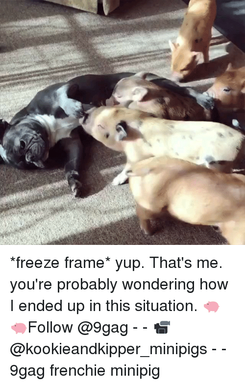 Frenchie: *freeze frame* yup. That's me. you're probably wondering how I ended up in this situation. 🐖🐖Follow @9gag - - 📹@kookieandkipper_minipigs - - 9gag frenchie minipig