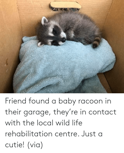 cutie: Friend found a baby racoon in their garage, they're in contact with the local wild life rehabilitation centre. Just a cutie! (via)
