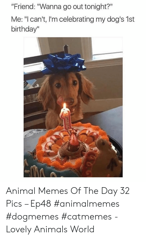 """out tonight: """"Friend: """"Wanna go out tonight?""""  Me: """"I can't, I'm celebrating my dog's 1st  birthday"""" Animal Memes Of The Day 32 Pics – Ep48 #animalmemes #dogmemes #catmemes - Lovely Animals World"""