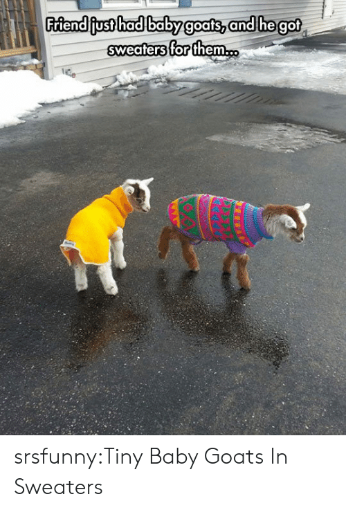 Baby Goats: Friendiiust hadlbabyg  oats, an  d hegot  sweaters for them. srsfunny:Tiny Baby Goats In Sweaters