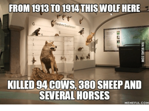 Horse Meme: FROM 1913 TO 1914 THIS WOLF HERE  Nerehrte Eael  KILLED 94 COWS, 380 SHEEP AND  SEVERAL HORSES  MEMEFUL COM