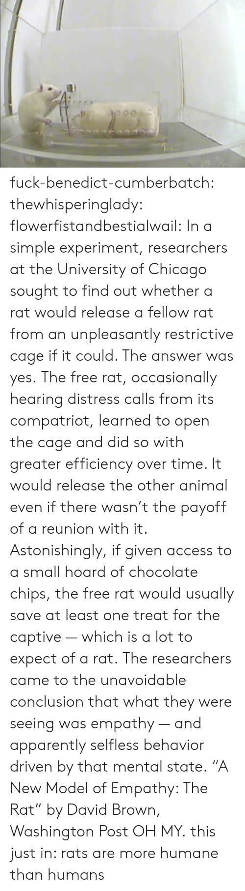"""This Just In: fuck-benedict-cumberbatch:   thewhisperinglady:  flowerfistandbestialwail:   In a simple experiment, researchers at the University of Chicago sought to find out whether a rat would release a fellow rat from an unpleasantly restrictive cage if it could. The answer was yes. The free rat, occasionally hearing distress calls from its compatriot, learned to open the cage and did so with greater efficiency over time. It would release the other animal even if there wasn't the payoff of a reunion with it. Astonishingly, if given access to a small hoard of chocolate chips, the free rat would usually save at least one treat for the captive — which is a lot to expect of a rat. The researchers came to the unavoidable conclusion that what they were seeing was empathy — and apparently selfless behavior driven by that mental state. """"A New Model of Empathy: The Rat"""" by David Brown, Washington Post   OH MY.  this just in: rats are more humane than humans"""