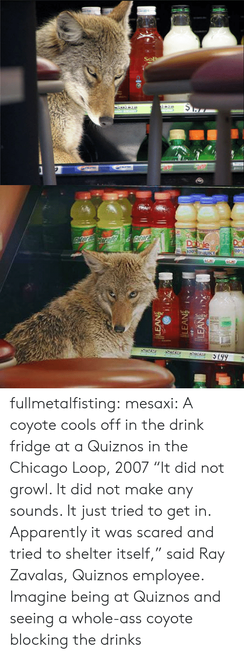 "Coyote: fullmetalfisting:  mesaxi:  A coyote cools off in the drink fridge at a Quiznos in the Chicago Loop, 2007 ""It did not growl. It did not make any sounds. It just tried to get in. Apparently it was scared and tried to shelter itself,"" said Ray Zavalas, Quiznos employee.   Imagine being at Quiznos and seeing a whole-ass coyote blocking the drinks"