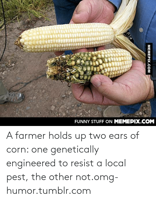 Engineered: FUNNY STUFF ON MEMEPIX.COM  МЕМЕРIХ.сом A farmer holds up two ears of corn: one genetically engineered to resist a local pest, the other not.omg-humor.tumblr.com