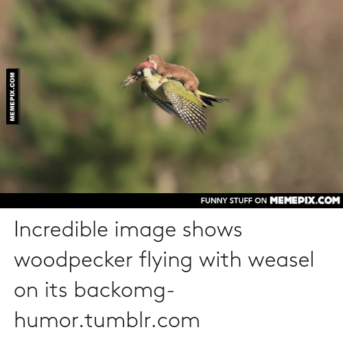 woodpecker: FUNNY STUFF ON MEMEPIX.COM  MEMEPIX.COM Incredible image shows woodpecker flying with weasel on its backomg-humor.tumblr.com