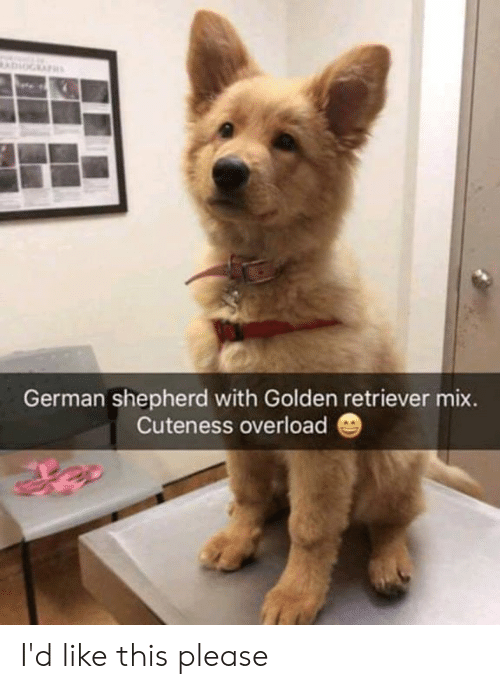 retriever: German shepherd with Golden retriever mix.  Cuteness overload I'd like this please
