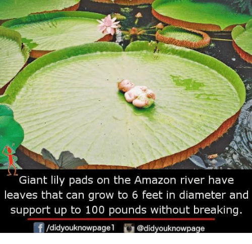 Amazon, Anaconda, and Memes: Giant lily pads on the Amazon river have  leaves that can grow to 6 feet in diameter and  support up to 100 pounds without breaking.  f/didyouknowpagel @didyouknowpage