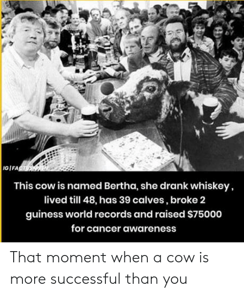 World Records: GIFA  This cow is named Bertha, she drank whiskey,  lived till 48, has 39 calves, broke 2  guiness world records and raised S75000  for cancer awareness That moment when a cow is more successful than you