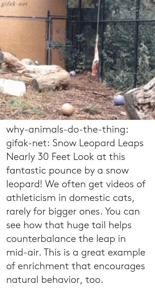 Gifak Net: gifak ne why-animals-do-the-thing: gifak-net: Snow Leopard Leaps Nearly 30 Feet Look at this fantastic pounce by a snow leopard! We often get videos of athleticism in domestic cats, rarely for bigger ones. You can see how that huge tail helps counterbalance the leap in mid-air. This is a great example of enrichment that encourages natural behavior, too.