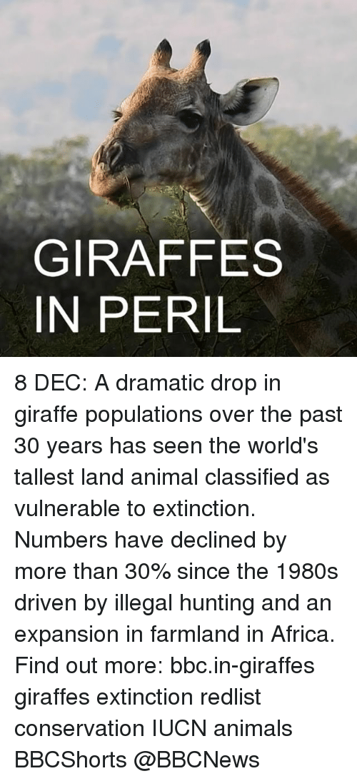 Populism: GIRAFFES  IN PERIL 8 DEC: A dramatic drop in giraffe populations over the past 30 years has seen the world's tallest land animal classified as vulnerable to extinction. Numbers have declined by more than 30% since the 1980s driven by illegal hunting and an expansion in farmland in Africa. Find out more: bbc.in-giraffes giraffes extinction redlist conservation IUCN animals BBCShorts @BBCNews