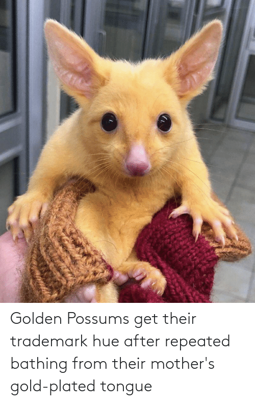 plated: Golden Possums get their trademark hue after repeated bathing from their mother's gold-plated tongue