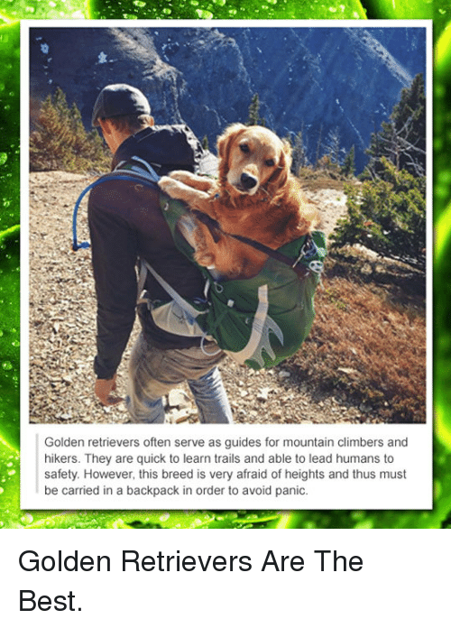 Afraid Of Heights: Golden retrievers often serve as guides for mountain climbers and  hikers. They are quick to learn trails and able to lead humans to  safety. However, this breed is very afraid of heights and thus must  be carried in a backpack in order to avoid panic. <p>Golden Retrievers Are The Best.</p>