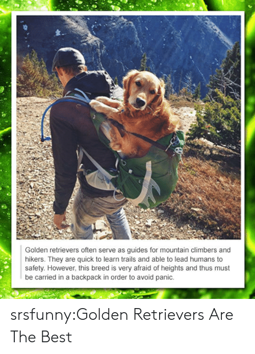 Afraid Of Heights: Golden retrievers often serve as guides for mountain climbers and  hikers. They are quick to learn trails and able to lead humans to  safety. However, this breed is very afraid of heights and thus must  be carried in a backpack in order to avoid panic. srsfunny:Golden Retrievers Are The Best