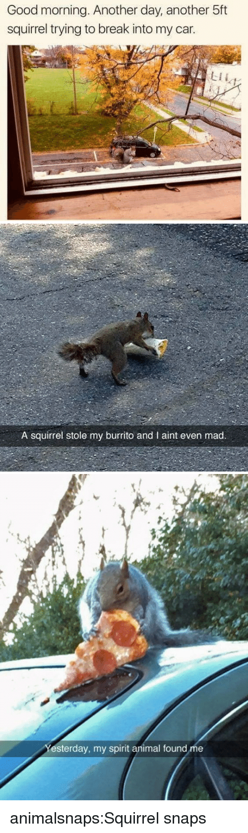 Aint Even Mad: Good morning. Another day, another 5ft  squirrel trying to break into my car.  LII   A squirrel stole my burrito and I aint even mad.   et  esterday, my spirit animal found me animalsnaps:Squirrel snaps