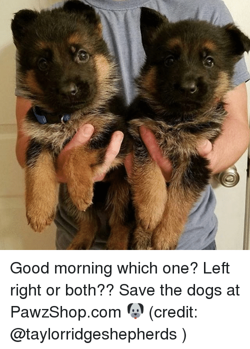 Dogs, Memes, and Good Morning: Good morning which one? Left right or both?? Save the dogs at PawzShop.com 🐶 (credit: @taylorridgeshepherds )