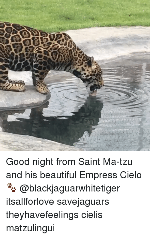 Beautiful, Memes, and Good: Good night from Saint Ma-tzu and his beautiful Empress Cielo 🐾 @blackjaguarwhitetiger itsallforlove savejaguars theyhavefeelings cielis matzulingui