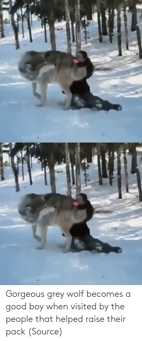 Gorgeous: Gorgeous grey wolf becomes a good boy when visited by the people that helped raise their pack (Source)