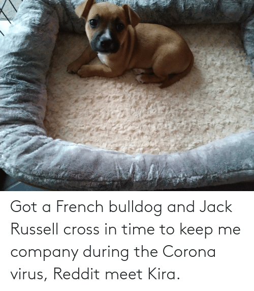 french bulldog: Got a French bulldog and Jack Russell cross in time to keep me company during the Corona virus, Reddit meet Kira.
