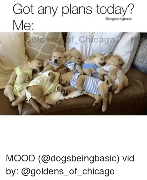 Chicago, Memes, and Mood: Got any plans today?  @dogsbeingbasic  01  old MOOD (@dogsbeingbasic) vid by: @goldens_of_chicago