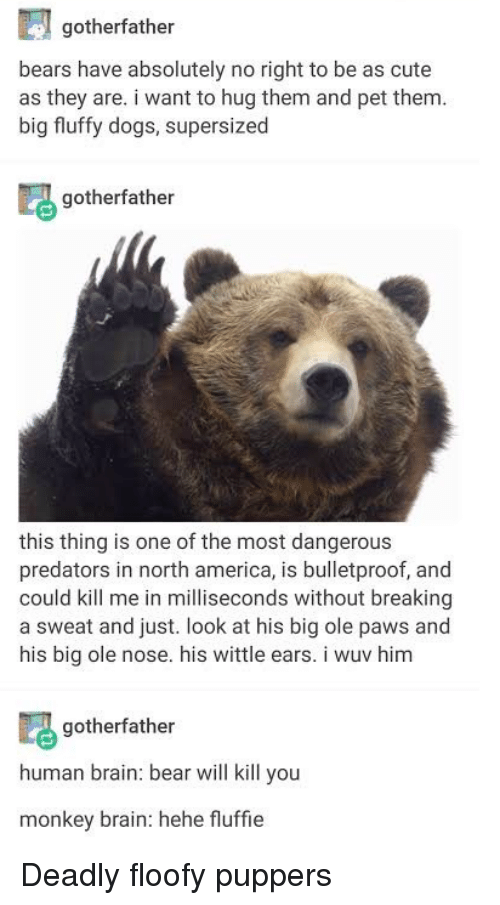 north america: gotherfather  bears have absolutely no right to be as cute  as they are. i want to hug them and pet them  big fluffy dogs, supersized  gotherfather  this thing is one of the most dangerous  predators in north america, is bulletproof, and  could kill me in milliseconds without breaking  a sweat and just. look at his big ole paws and  his big ole nose. his wittle ears. i wuv him  gotherfather  human brain: bear will kill you  monkey brain: hehe fluffie Deadly floofy puppers