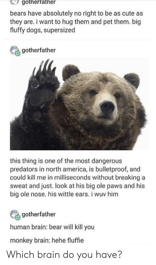 north america: gotherfather  bears have absolutely no right to be as cute as  they are. i want to hug them and pet them. big  fluffy dogs, supersized  gotherfather  this thing is one of the most dangerous  predators in north america, is bulletproof, and  could kill me in milliseconds without breaking a  sweat and just. look at his big ole paws and his  big ole nose. his wittle ears. i wuv him  gotherfather  human brain: bear will kill you  monkey brain: hehe fluffie Which brain do you have?