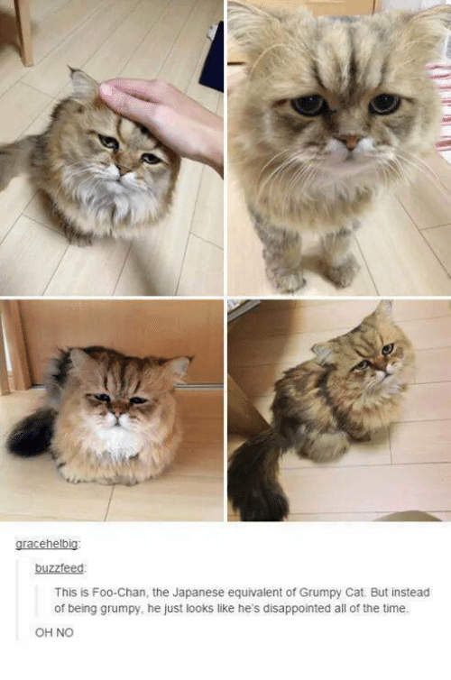 Disappointed: gracehelbig:  buzzfeed  This is Foo Chan, the Japanese equivalent of Grumpy Cat. But instead  of being grumpy, he just looks like he's disappointed all of the time.  OH NO
