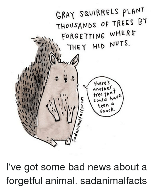 υοθ: GRAY SQUIRRELS PLANT  THOUSANDs TREES BY  FORGETTING WHERE  THEY HID NUTS  there's  another  tha  could h  I I I  been  a  Snack. I've got some bad news about a forgetful animal. sadanimalfacts