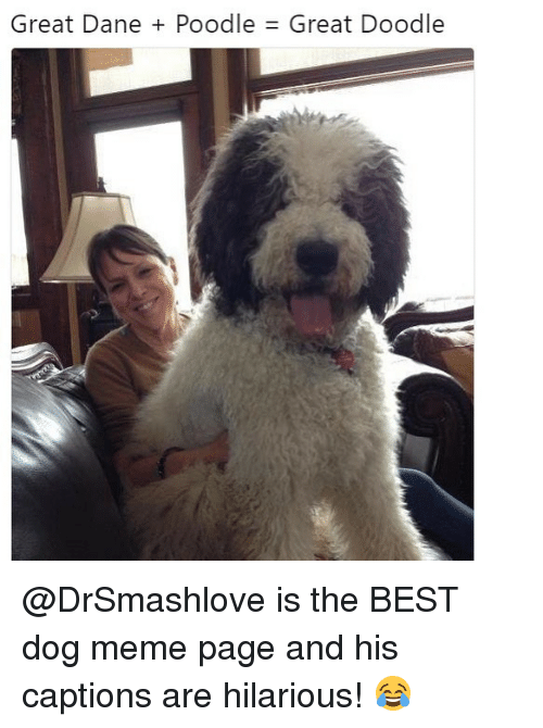great dane: Great Dane + Poodle  Great Doodle @DrSmashlove is the BEST dog meme page and his captions are hilarious! 😂