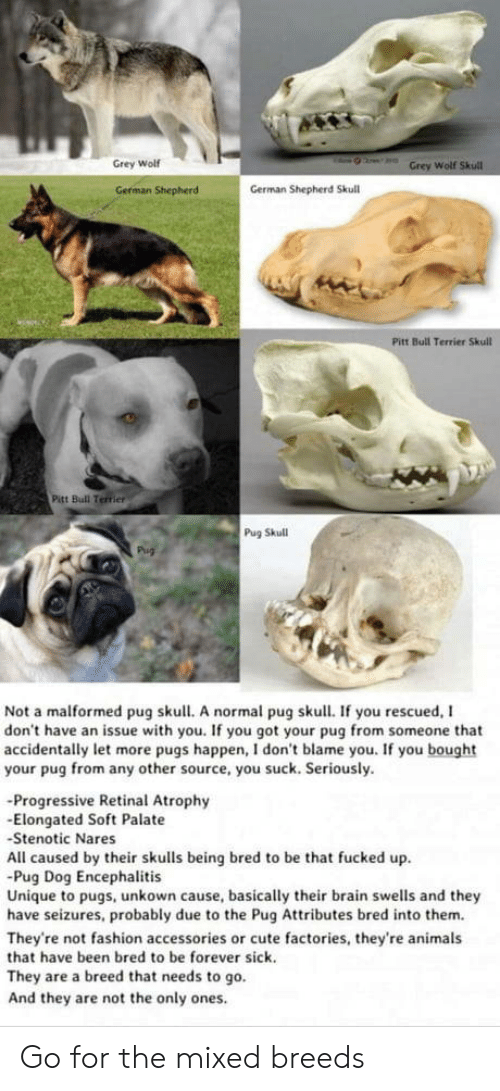 Pugs: Grey Wolf  Wolf  German Shepherd  German Shepherd Skull  Pitt Bull Terrier Skull  Pitt Bull Terrier  Pug Skull  Not a malformed pug skull. A normal pug skull. If you rescued, I  don't have an issue with you. If you got your pug from someone that  accidentally let more pugs happen, I don't blame you. If you bought  your pug from any other source, you suck. Seriously.  -Progressive Retinal Atrophy  -Elongated Soft Palate  Stenotic Nares  All caused by their skulls being bred to be that fucked up  Pug Dog Encephalitis  Unique to pugs, unkown cause, basically their brain swells and they  have seizures, probably due to the Pug Attributes bred into them.  They're not fashion accessories or cute factories, they're animals  that have been bred to be forever sick.  They are a breed that needs to go.  And they are not the only ones Go for the mixed breeds