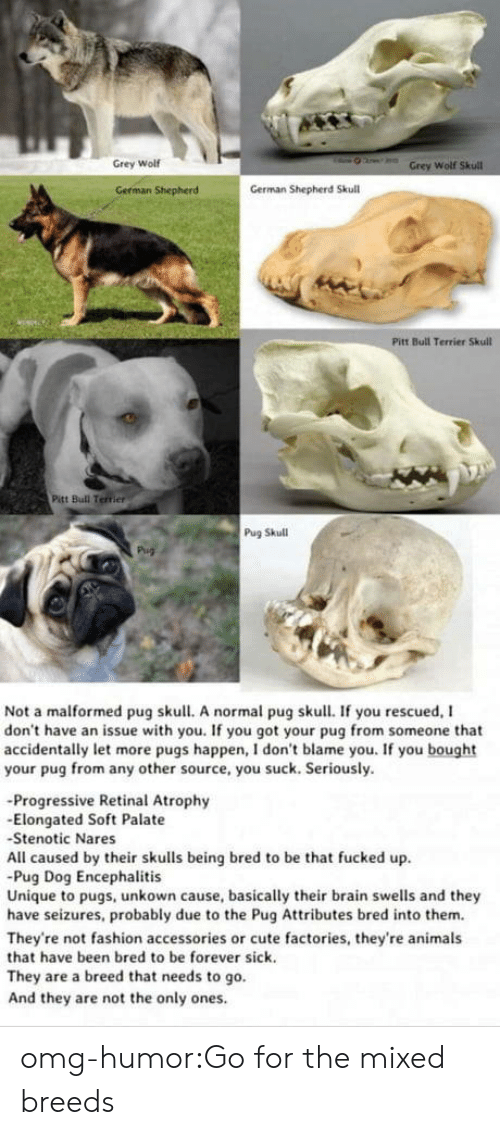 Pugs: Grey Wolf  Wolf  German Shepherd  German Shepherd Skull  Pitt Bull Terrier Skull  Pitt Bull Terrier  Pug Skull  Not a malformed pug skull. A normal pug skull. If you rescued, I  don't have an issue with you. If you got your pug from someone that  accidentally let more pugs happen, I don't blame you. If you bought  your pug from any other source, you suck. Seriously.  -Progressive Retinal Atrophy  -Elongated Soft Palate  Stenotic Nares  All caused by their skulls being bred to be that fucked up  Pug Dog Encephalitis  Unique to pugs, unkown cause, basically their brain swells and they  have seizures, probably due to the Pug Attributes bred into them.  They're not fashion accessories or cute factories, they're animals  that have been bred to be forever sick.  They are a breed that needs to go.  And they are not the only ones omg-humor:Go for the mixed breeds