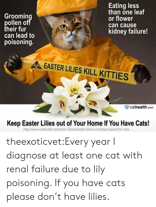 Kitties: Groomin  ollen o  heir fur  can lead to  poisoning.  Eating less  than one leaf  or flower  can cause  kidney failure!  EASTER LILIES KILL KITTIES  眥cathealth.com  Keep Easter Lilies out of Your Home If You Have Cats!  http:l/www.cathealth.com/toxic-items/easter-lilies-a-holiday-hazard-for-cats theexoticvet:Every year I diagnose at least one cat with renal failure due to lily poisoning. If you have cats please don't have lilies.