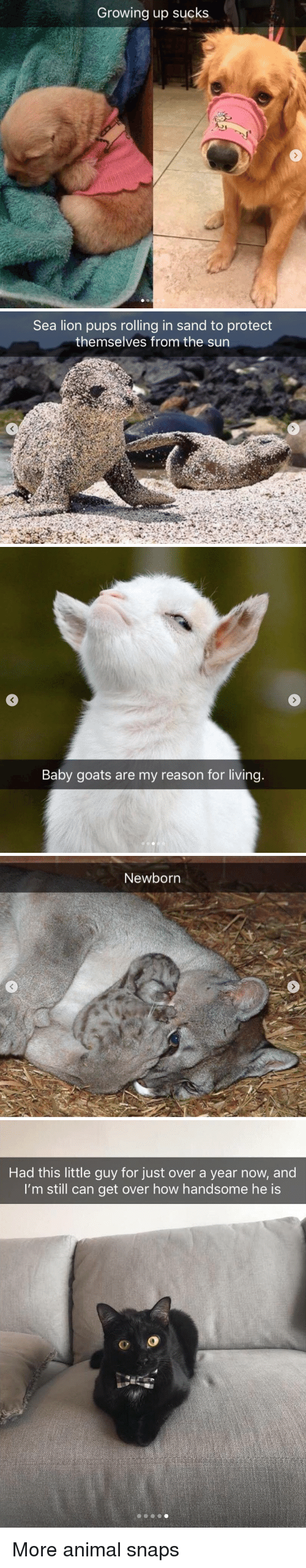 Baby Goats: Growing up sucks   Sea lion pups rolling in sand to protect  themselves from the sun   Baby goats are my reason for living   Newborn   Had this little guy for just over a year now, and  I'm still can get over how handsome he is More animal snaps