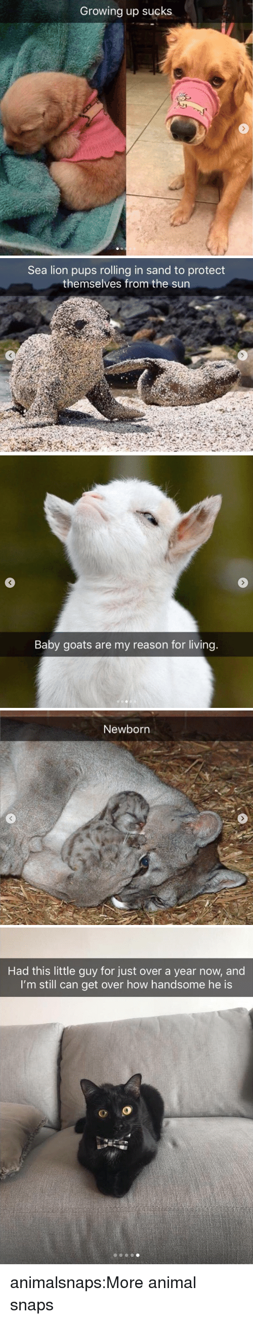 Baby Goats: Growing up sucks   Sea lion pups rolling in sand to protect  themselves from the sun   Baby goats are my reason for living.   Newborn   Had this little guy for just over a year now, and  I'm still can get over how handsome he is  o O animalsnaps:More animal snaps